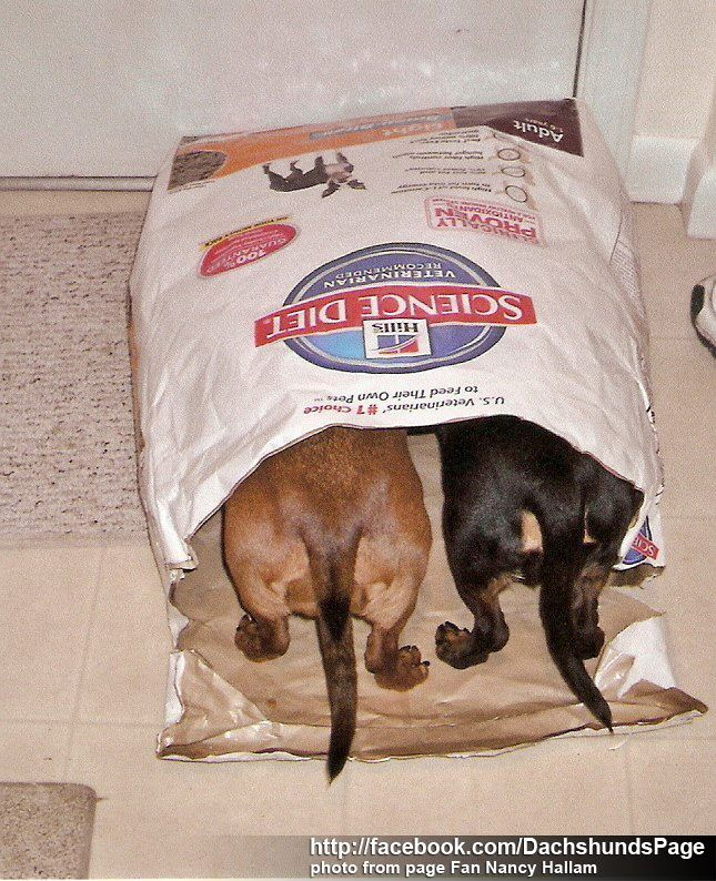Doxies love their dog food to the very last morsel...