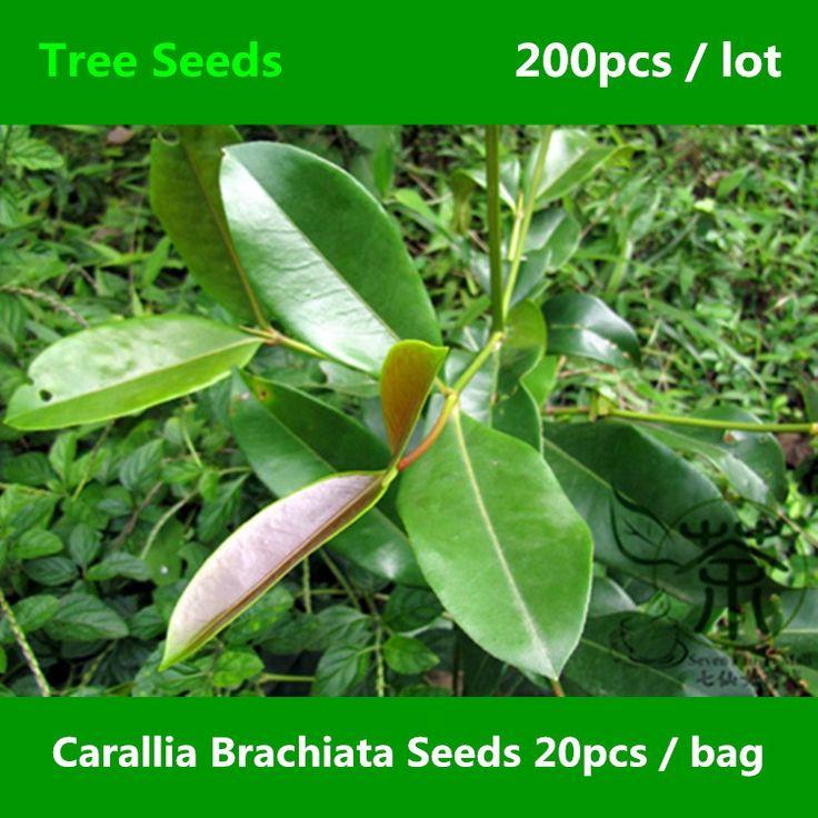 Ornamental Plant Carallia Brachiata Seeds 200pcs, Freshwater Mangrove Evergreen Tree Seeds, Landscaping Design Zhu Jie Shu Seeds