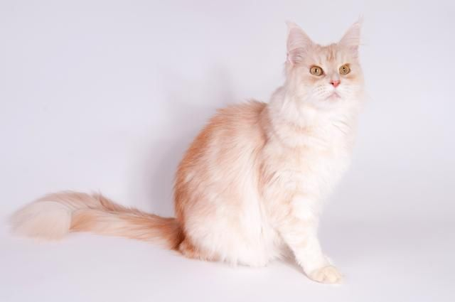 Maine Coon, red silver tabby mackerel (ds 22). CH Hayj You Coons Kayla. Photo by #AVOphotography