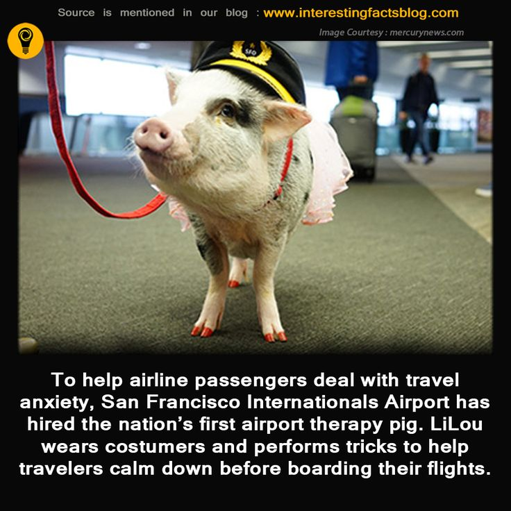 Lilou, San Francisco Airport's Therapy Pig