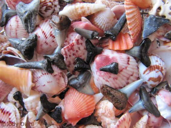 """Venice, Florida is a great place to find shells and sharks teeth.    Authentic Florida: Venice, """"Shark Tooth Capital of the World"""""""