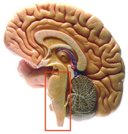 La glandula pituitaria
