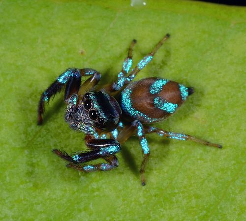 Shiny blue jumping spider (perhaps Thiania bhamoensis)
