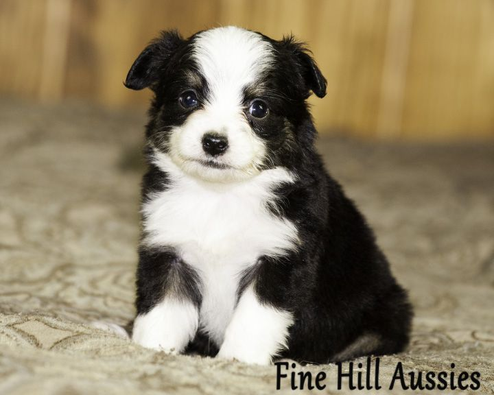 Toy Aussies. Black Tri Female 2 brown eyes, will be 10 to