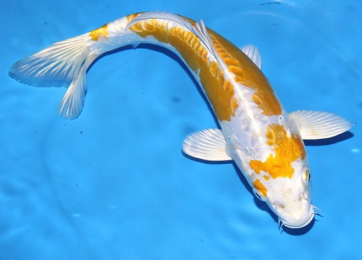 Live koi fish 9 10 yellow white doitsu hariwake koibay for Live koi fish