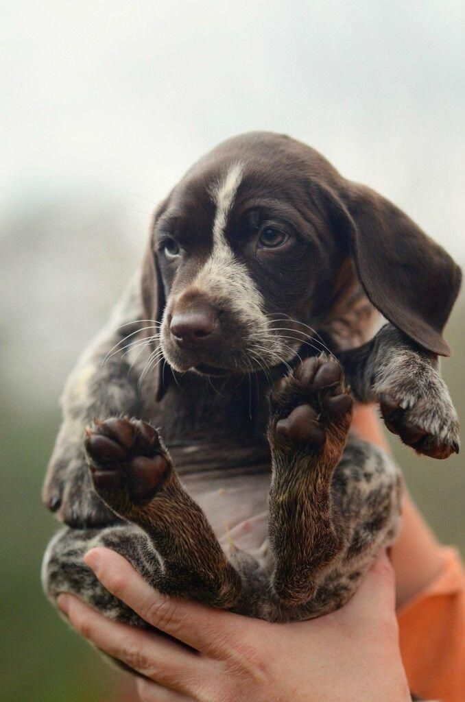 Too cute for words! (german shorthaired pointer)