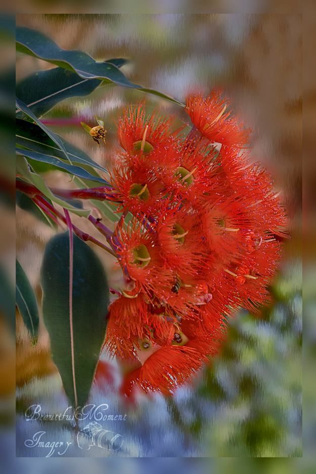 Red gum (eucalyptus) blossom by Beautiful Moment Imagery, Australia.