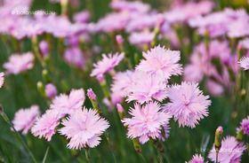 Pünkösdi Szegfű (Dianthus gratianopolitanus) gondozása, szaporítása