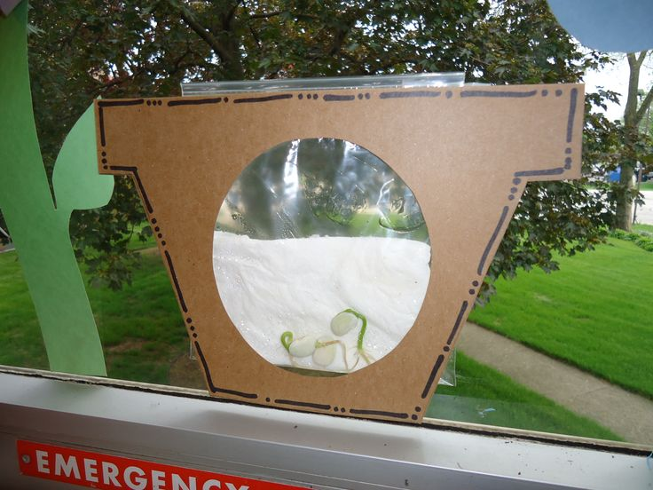 Lima Bean planting: This cute frame made to look like a see through pot added some charm to growing a lima bean. Wet a paper towel and put it in a sealed ziplock bag with a few lima beans. Place in a sunny window; but change the paper towel and water (not too much) after a few days to keep it from getting moldy.