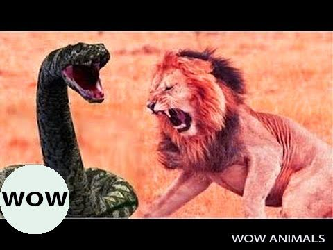 Animals Attack - Lion vs Snake, Snake vs Eagle | Craziest Animal Fights
