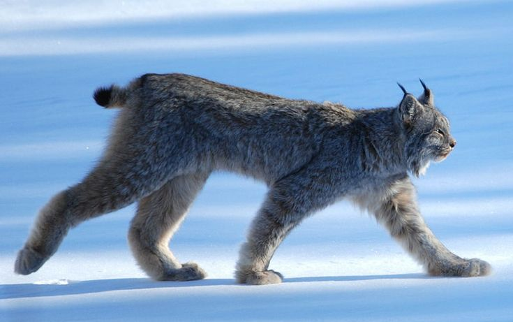 Canada Lynx http://www.thejunglestore.com/site/images/Canada%2520Lynx.jpg