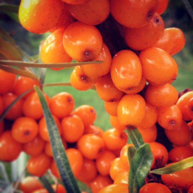 Our Juicy Sea buckthorn berries at last year's harvest.    Nos argousiers avant la récolte en 2014