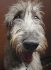 Irish Wolf Hound--good thing there isn't a kennel down the street or I'd have one in a heartbeat!  So much personality!!