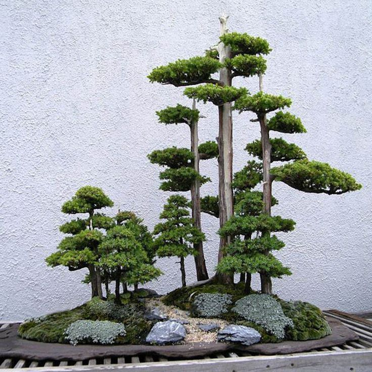 20pcs Japanese White Pine Pinus Parviflora Green Plants Tree Bonsai Seeds Decor…
