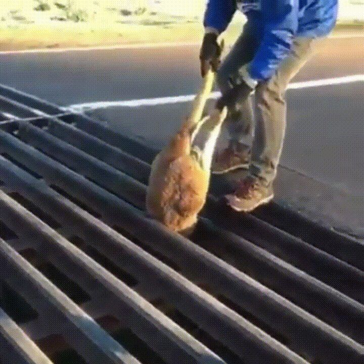 Man saves Kangaroo stuck in Cattle Grid