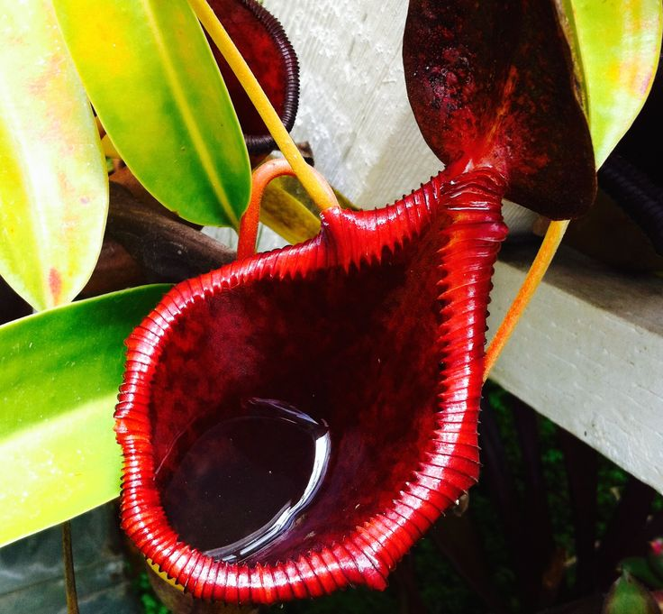 Top view of an insect eating Pitcher plant.