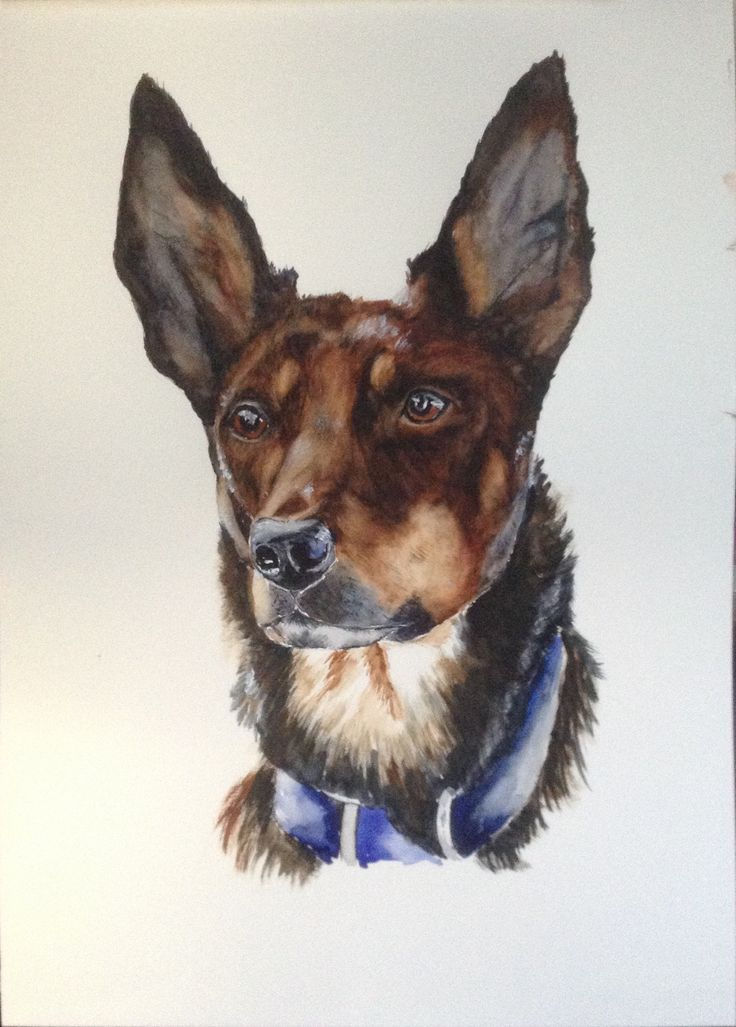 My watercolour painting of an Australian Kelpie, working dog, this painting is for sale.