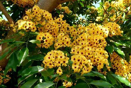 FLOR DO PAU BRASIL Flor oriunda da planta que nomeou o país, a flor do pau-brasil é característica do território nacional. Suas pétalas são amarelas com manchas em tom vermelho – a cor do pau-brasil.