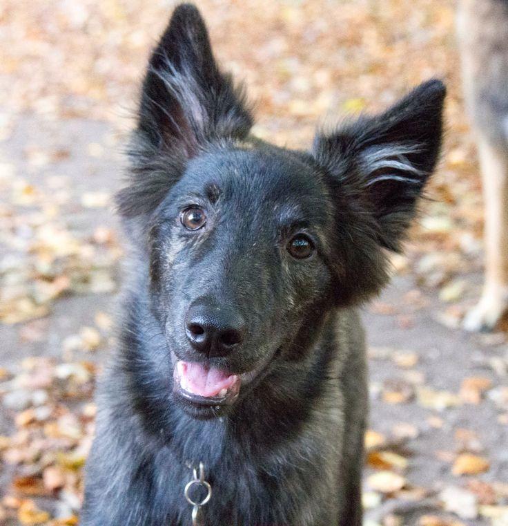 Dutch Shepherd dog puppy / Hollandse Herder Langhaar pup