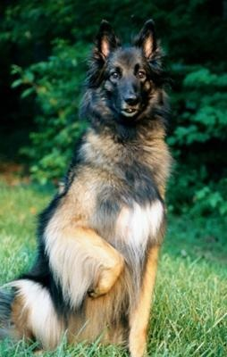 Tervueren  - Belgian Shepherd. Reminds me of my dog Lobo (wolf)