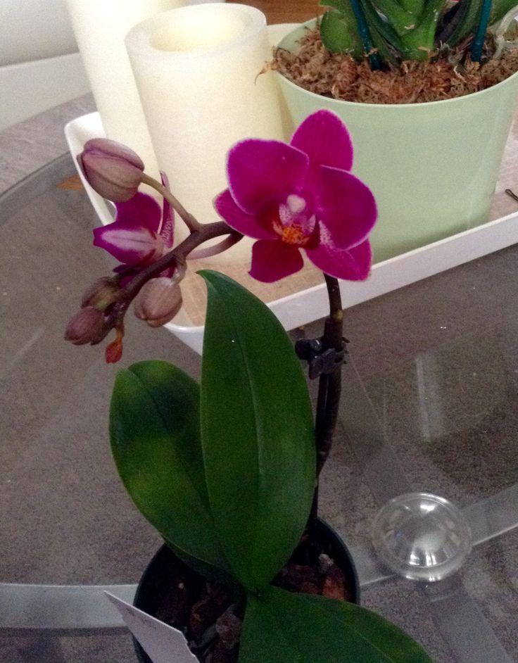Clouds orchids - sogo berry ( sun jye diamond x zuma's pixie )