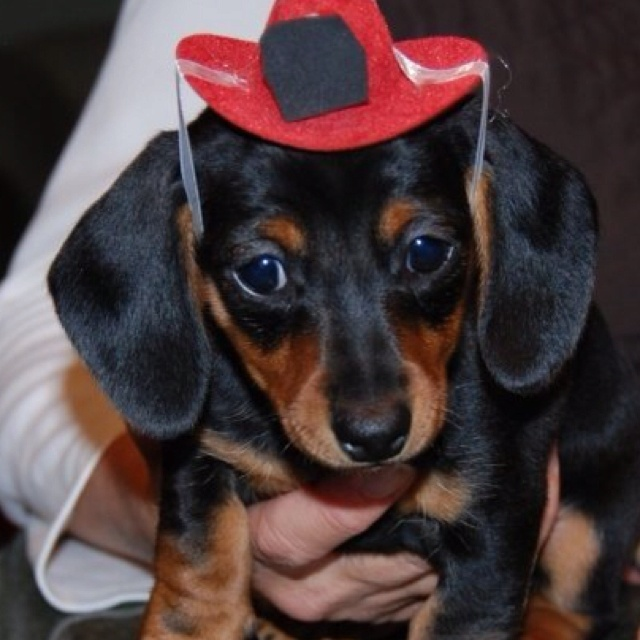 my dog is cuter than your dog: Weini Tastic, Stella Bella S, Animals Pet, Weiner Dogs