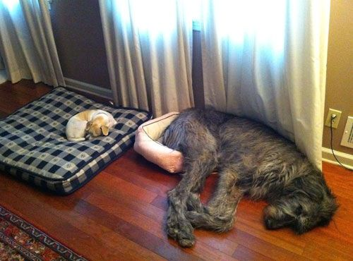 awwww: Dogs Beds, So Funnies, Big Beds, Small Dogs, Silly Dogs, Irish Wolfhounds, Pet, Little Dogs, Big Dogs