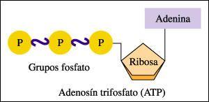 ATP ADENOSÍN TRIFOSFATO: El trifosfato de adenosina (adenosín trifosfato, del inglés adenosine triphosphate o ATP) es un nucleótido fundamental en la obtención de energía celular. Está formado por una base nitrogenada (adenina) unida al carbono 1 de un azúcar de tipo pentosa, la ribosa, que en su carbono 5 tiene enlazados tres grupos fosfato. Es la principal fuente de energía para la mayoría de las funciones celulares.  Se produce durante la fotorrespiración y la respiración celular.