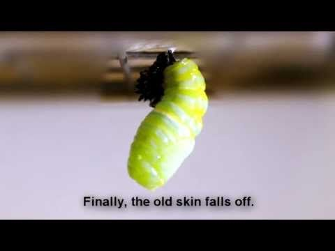 Metamorphosis From Caterpillar To Butterfly