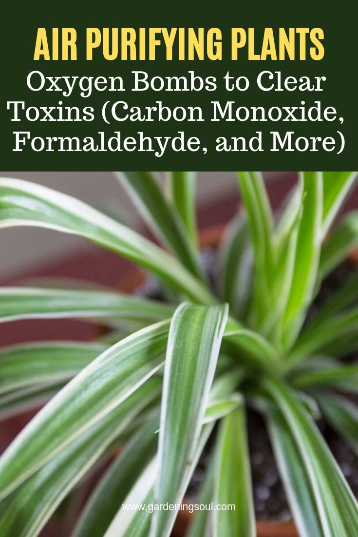 Air Purifying Plants For Bedroom: Air Purifying Plants: Oxygen Bombs To Clear Toxins (Carbon