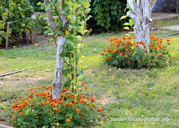 Приствольные круги можно сделать украшением сада. Посадите почвопокровные растения, цветы, пряно-ароматические травы