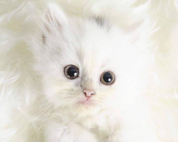 Precious kitten: White Fluffy Kittens, Cute Cat, Cat Photo, Desktop Wallpapers, Big Eye, Persian Cat, Snow White, White Kittens, White Cat