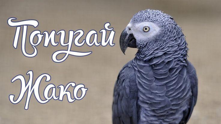 Попугай жако красиво поет и разговаривает с хозяйкой