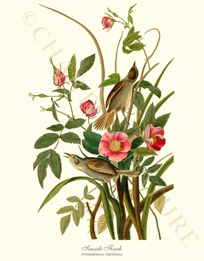 'Seaside Finch'  giclee print by James Audubon via Charting Nature. , #birdprint #birdart #audubon