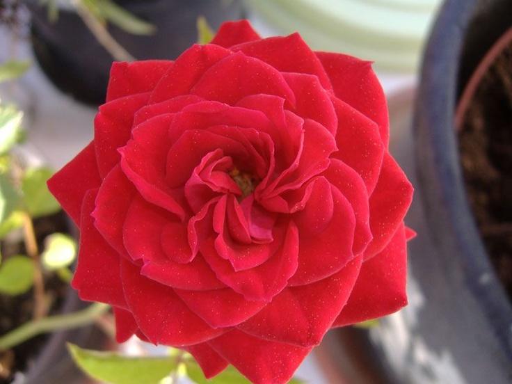 Rosa selvatica di casa mia