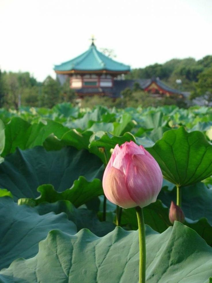 Lotus and temple: Shinobazu pond Ueno Park, Tokyo