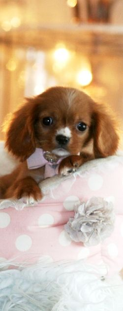 Ruby King Charles Cavalier Spaniel Puppy.