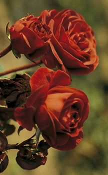 Brown-russet red roses called Hot Cocoa. So hard to capture this color correctly!