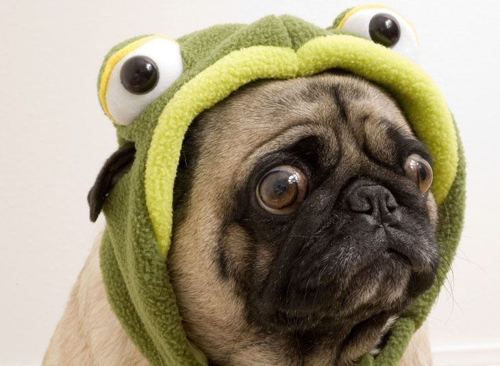 """Get me outta this goofy costume!""...found on fundogpics.com  Click on this image to find more funny #Pug pictures"