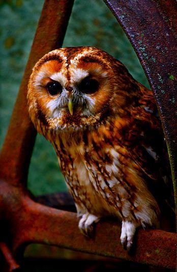copper colored owl, so beautiful