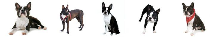 Christmas Adventure of Stella the Boston Terrier | Boston Terrier Dogs