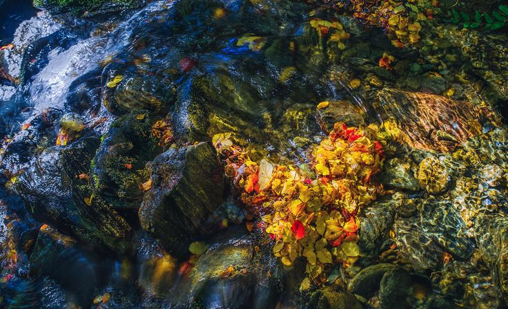 Late spring, early summer the native beech drop red and golden leaves on the forest floor. The leaves catch in rocky nooks of the stream to ...