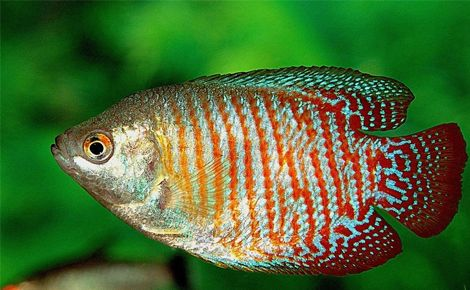 Cüce Gurami Balığı (Colisa Lalia)
