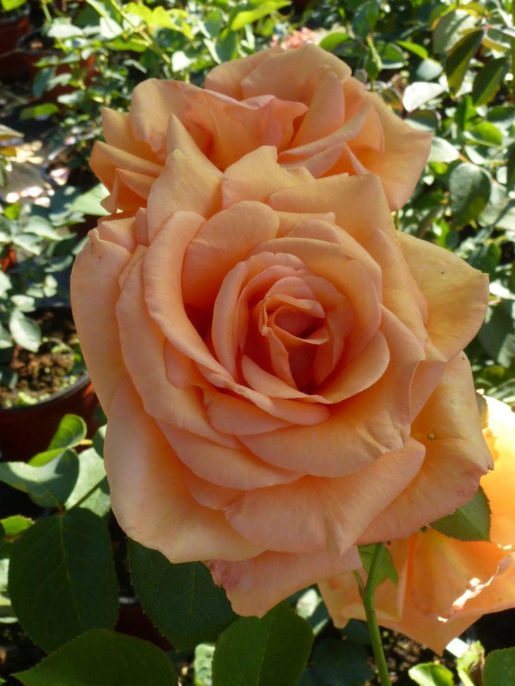 Warm Wishes www.rozenrijk.nl