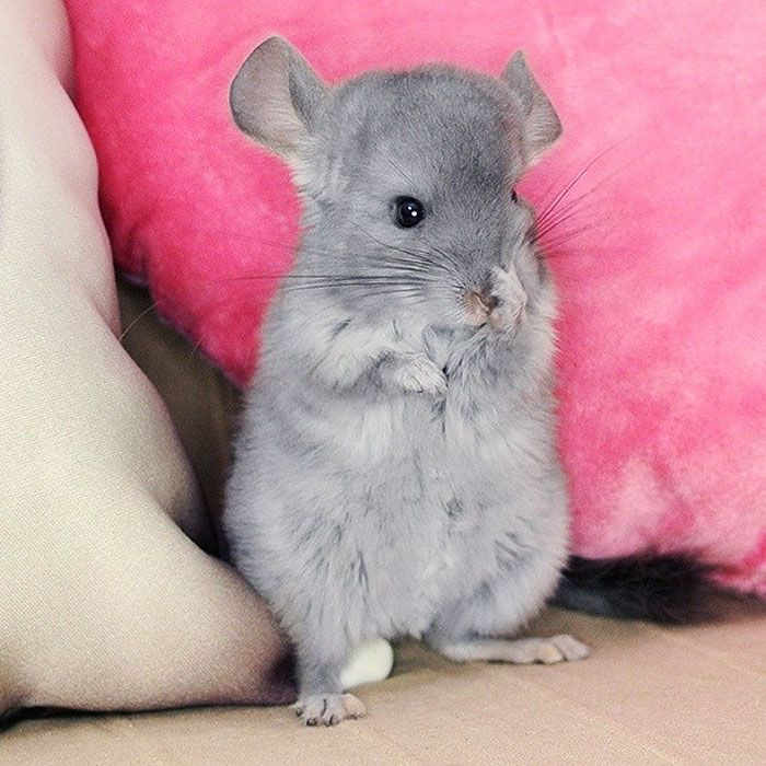 Make Your Own Chinchilla Food