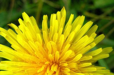 Dandelions are edible and even common to eat in other countries! I want to try a recipe with them :)