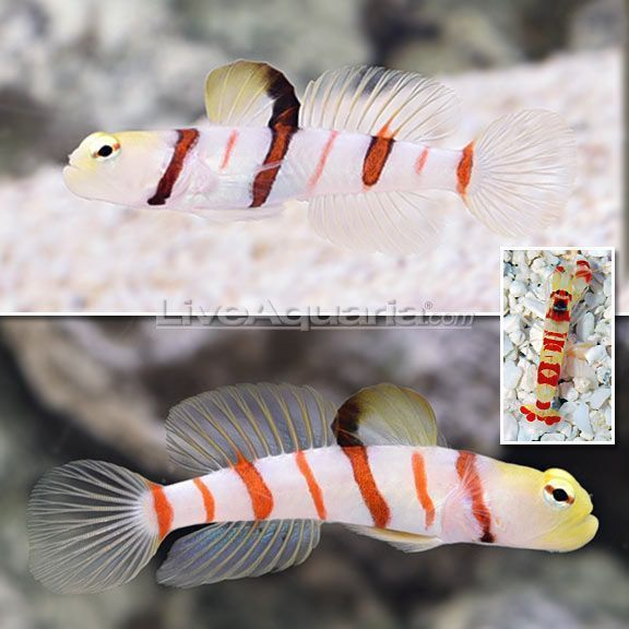 Dracula Goby For Sale