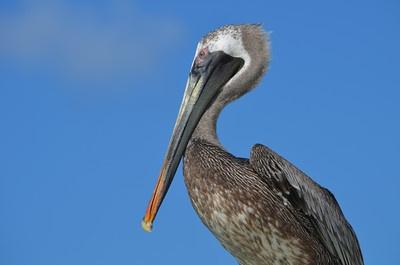 pelican, aruba beach club