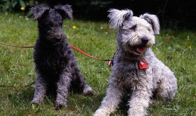 Descubre la raza de perro Pumi, ¡te lo contamos todo!