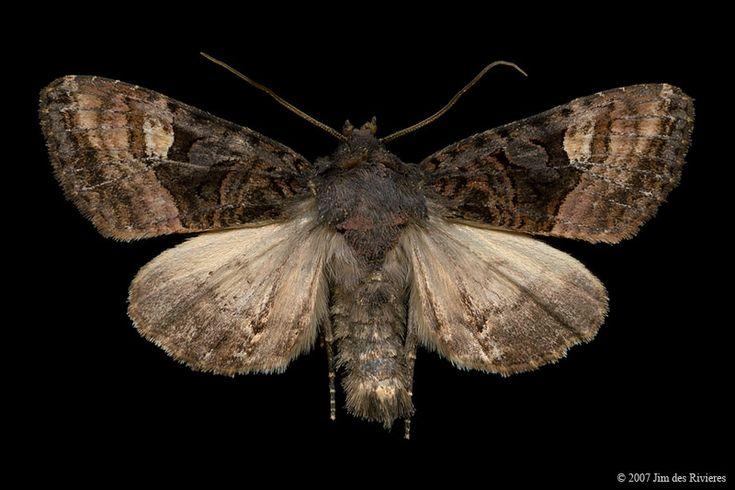 American Angle Shades Moth (Euplexia benesimilis) - Lac Bonin, Quebec - July 14, 2007